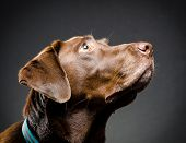 picture of chocolate lab  - image of a chocolate lab portrait in studio - JPG