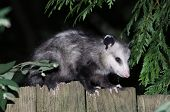 foto of possum  - A Virginia Opossum on a Fence at night - JPG