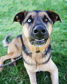 stock photo of spayed  -  a cute german shepherd at a local park on a hot sunny day  - JPG