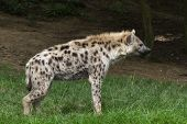 picture of hyenas  - a portrait the Spotted hyena  - JPG