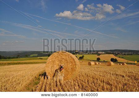 Golden Retriever and Straw Rolls