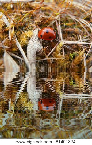 Ladybug In Grass With Water Refections