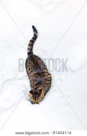 Cat Strolling Through  Deep Snow In Winter