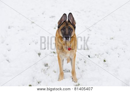 German Shepherd Dog Outside In The Snow