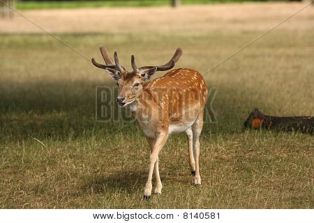 Fallow Deer Stag Walking Towards Camera