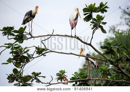 Painted storks perched on tree top