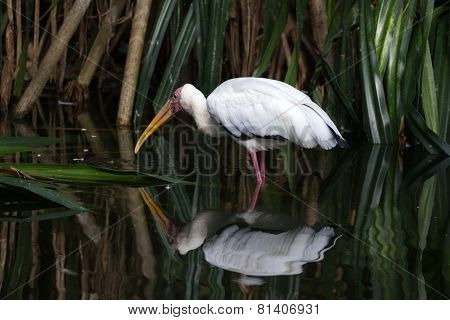 yellow billed stork hunting for fish in a shallow pond
