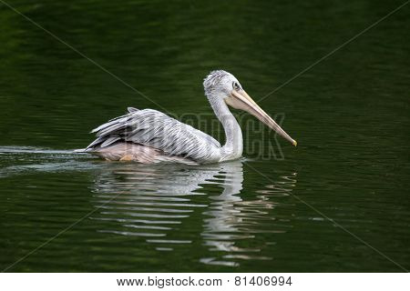 one pelican swimming in a lake