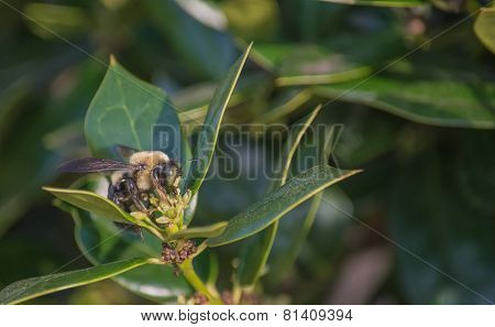 Bee on Holly