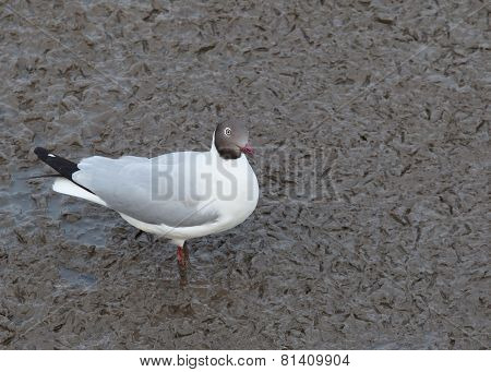 Sea Gull Birds ,brown Headed Gull In Breeding Plumage Form Standing On Mud Flat Sea Coast ,wild Life