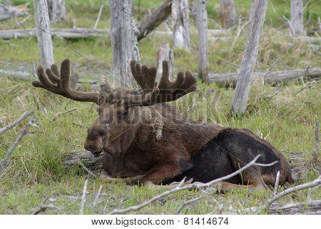 Alaska Bull Moose