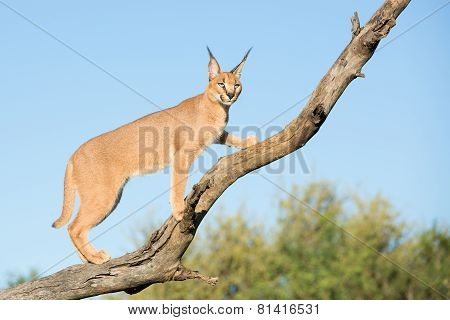 A Young Caracal In A Tree, South Africa