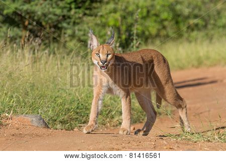 A Young Caracal In South Africa