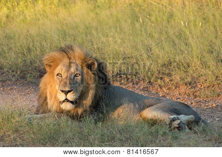Male African Lion, South Africa