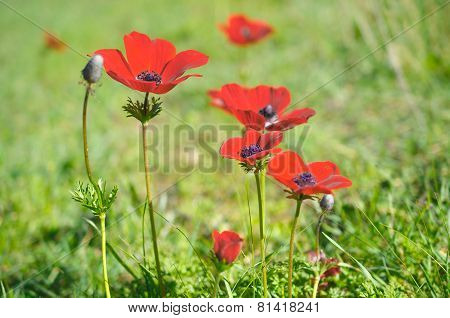 Wild Anemone (windflower) Flowers Blooming In The Israeli Winter