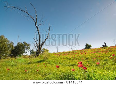 Naked Tree In A Field Of Wild Anemone (windflower) Flowers In Israeli