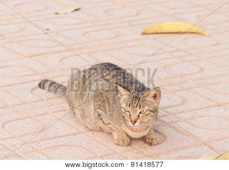 Wild cat lie down on footpath