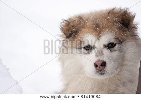 Close Up Of Young Fluffy Dog Outside In Snow