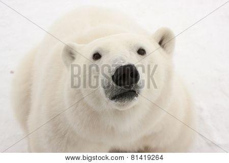 Close Up Of Adult Polar Bear Looking At Camera