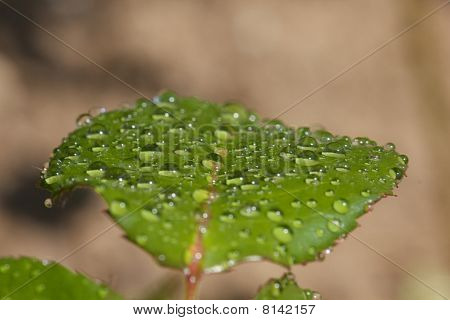 Rose leaf after rain