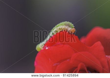 caterpillar of a rose sawfly