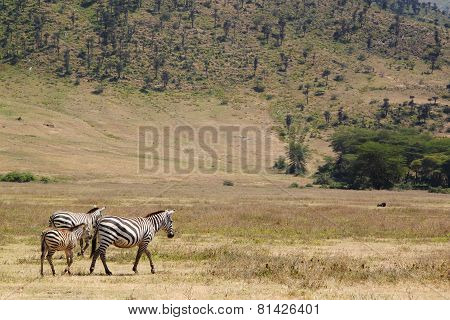 Family Common Zebras In Ngorongoro