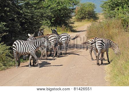 Herd Of Common Zebras Along A Road