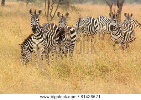 Common Zebra In The Bush