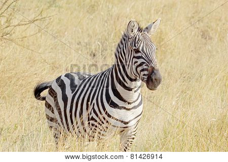 Common Zebra Standing In Savannah
