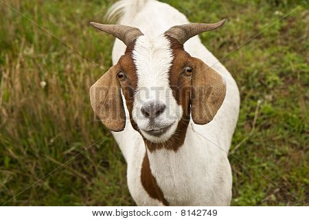 Small Goat