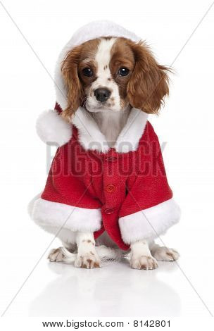 Portrait Of Puppy Cavalier King Charles Spaniel, 4 Months Old, Dressed In Santa Coat In Front Of Whi