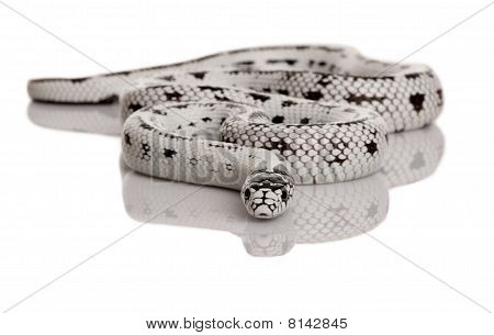 California Kingsnake, Lampropeltis Getula Californiae, In Front Of White Background