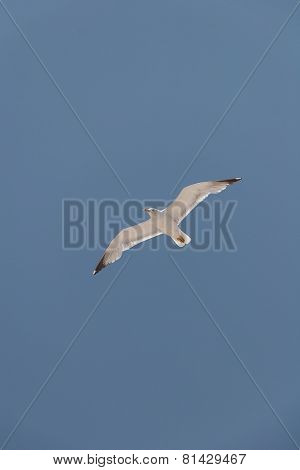 Sea gull in the sky