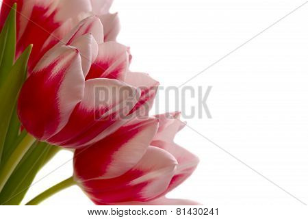 Large Bouquet Of Tulips Isolate