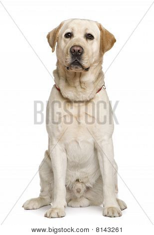 Labrador Retriever, 2 And A Half Years Old, Sitting In Front Of White Background