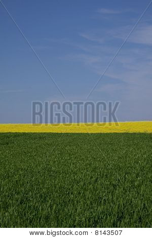 Grass, rape field and blue sky