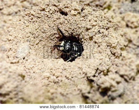 Burrowing Wasp