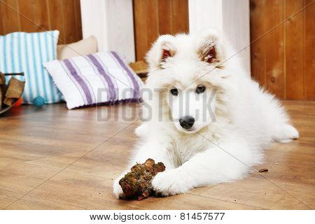 Cute Samoyed dog chewing firewood on wooden floor and fireplace on background