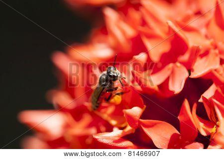 Close Up Ixora And Bee
