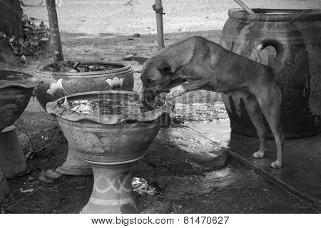 Homeless Dog Is Drinking Water In Fish's Pond, Black And White Toned