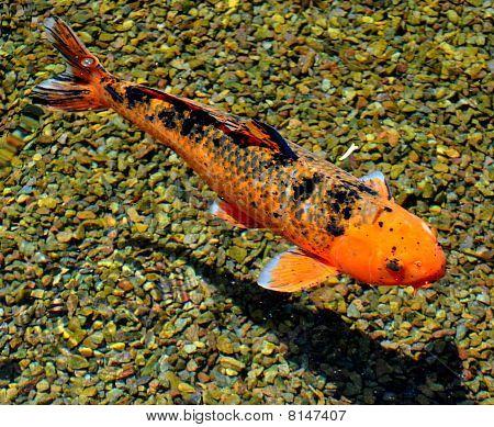 Koi Fish (nishikigoi)