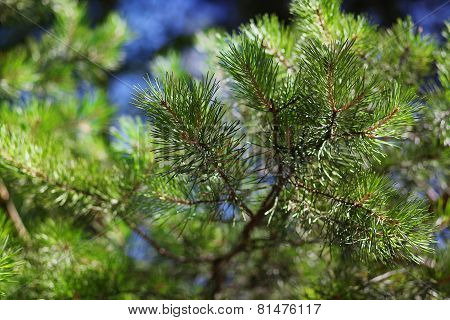 Pine Branch With Needles, Closeup