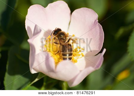 Bee In Flower Of Brier