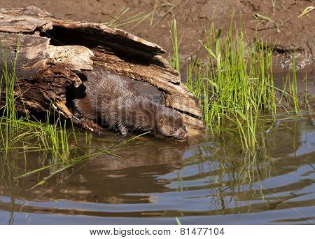 Mink Entering Water from Hollow Log