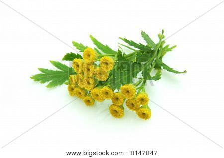 Branch Of Tansy