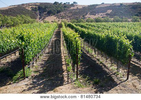 Vines In Hot Summer Sun Of California