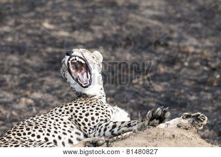 Cheetah Sitting On A Termite Mound And Yawning