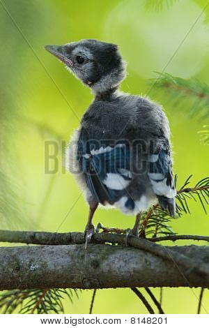 Baby Vogel Blue jay