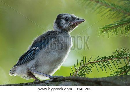 Baby Vogel Blue jay