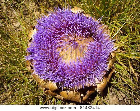 Decaying Artichoke Flowers Purple